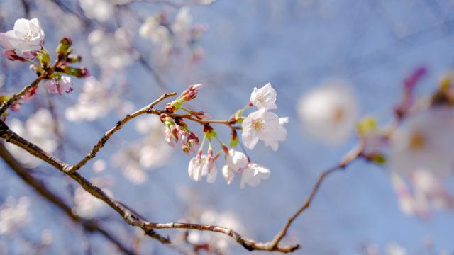 LeicaQ作例:さくらの花
